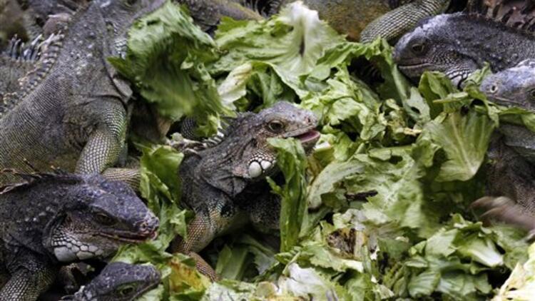 ABD'de vatandaşlara iguana öldürme çağrısı