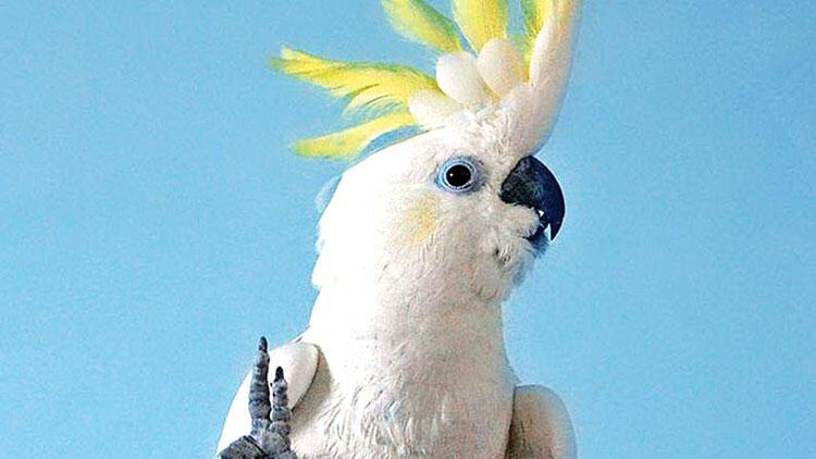 Papağan dünyasının Travolta'sı