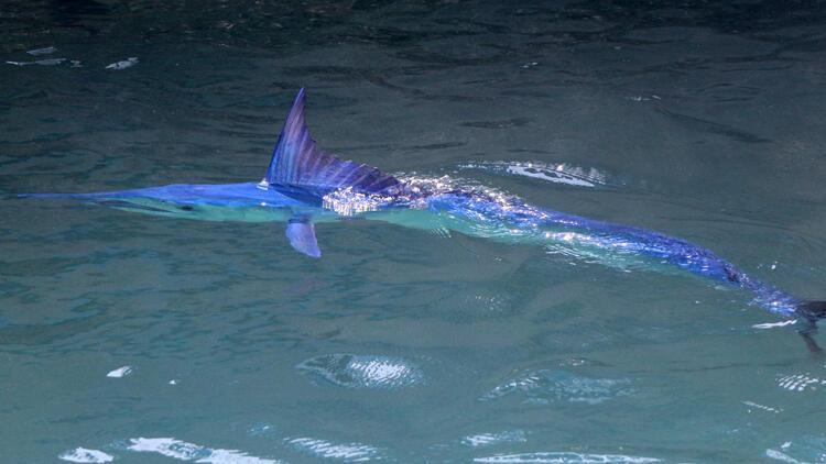 Mavi yelken balığı Antalya'da görüntülendi