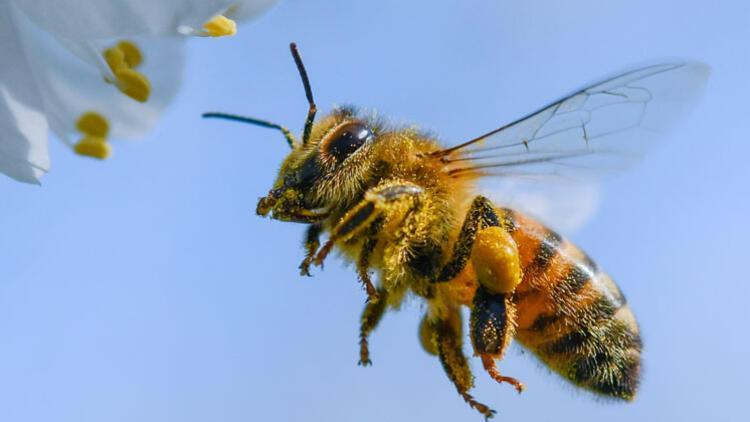 Köpeklerden çok daha etkililer: Polis arıları mı geliyor?