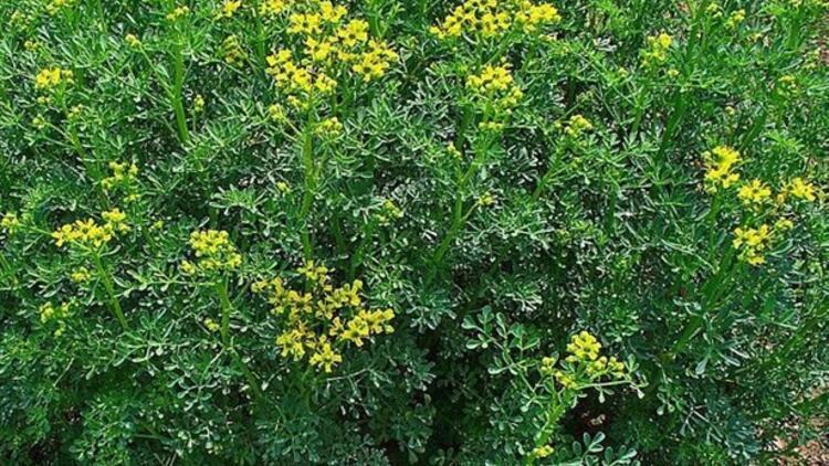 Göğüs Büyüten Bitkiler