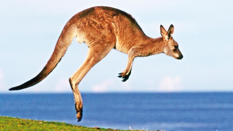 kangurular ile ilgili görsel sonucu