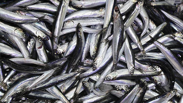 Karadeniz'de hamsi fiyatı düştü