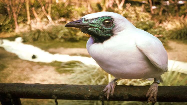 Beyaz çan kuşları çiftleşme çağrısını böyle yapıyor