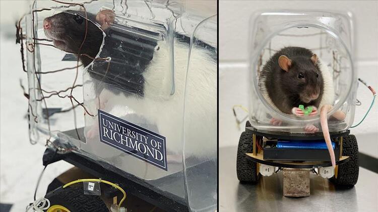 Bilim insanları farelere araba sürmeyi öğretti