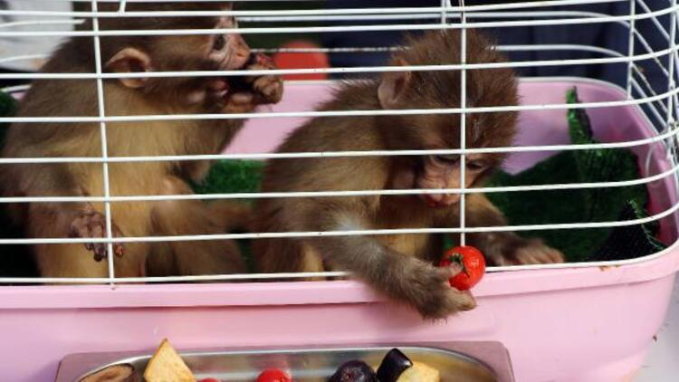 Sınırda yakalanan maymunlara 'Fıstık' ve 'Zeytin' ismi verildi
