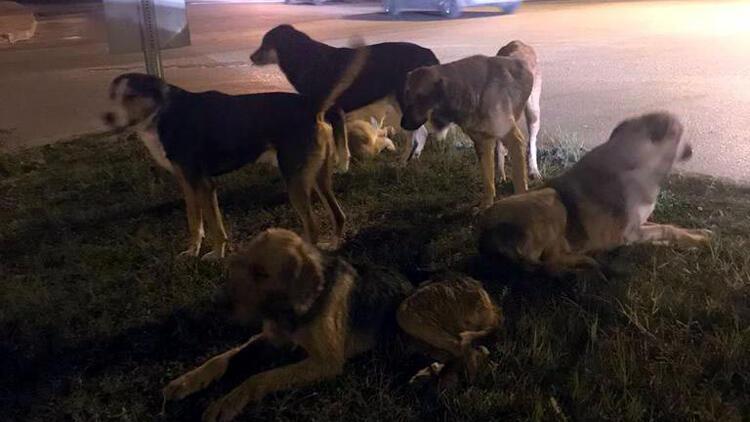 Bolu'da ayakları kopuk bulunan kedi ölüleriyle ilgili valilikten açıklama