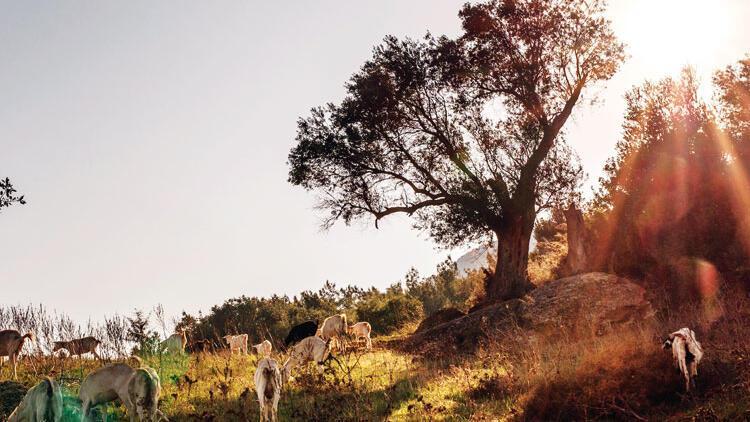 Ege'nin zeytin ormanlarını zeytinyağı koruyacak