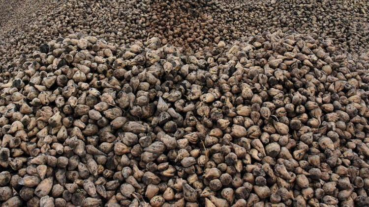 Tokat'ta şeker pancarından 180 milyon lira gelir bekleniyor
