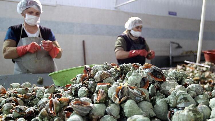 Deniz salyangozu balıkçıların gelir kaynağı oldu