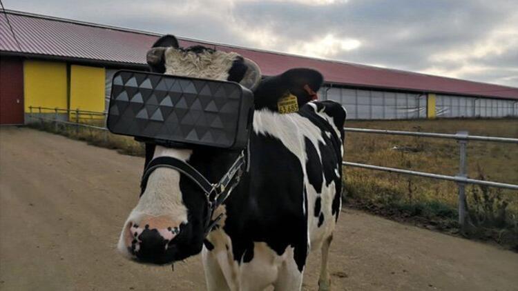İnekler VR gözlüğü taktı, süt üretimi arttı