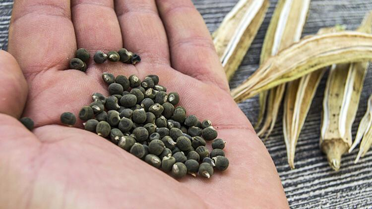 Şifa Dolu Tohumlar: Bamya Tohumunun 10 Faydası