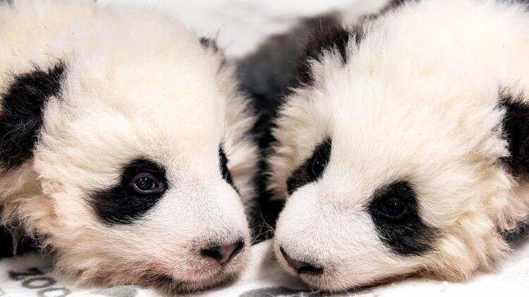 Almanya'nın ilk pandaları