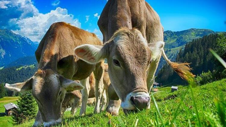 Rüyada inek görmek ne anlama geliyor? Rüyada inek sürüsü görmenin anlamı