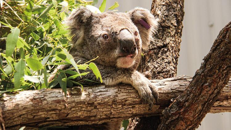 Yangında koalaların yüzde 30'u öldü