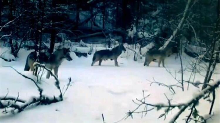 Çocukluğundan beri merak ettiği kurtları fotokapanla görüntüledi