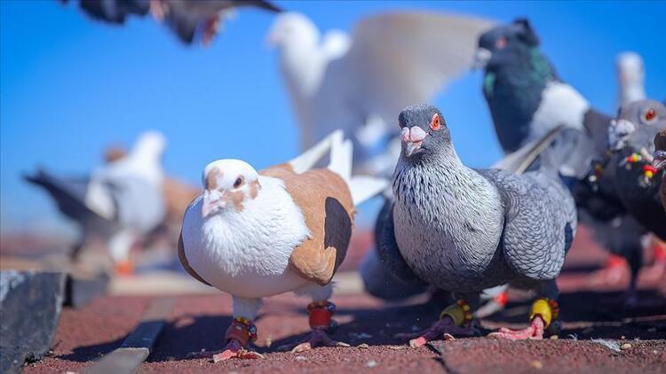 Rüyada güvercin görmek ve yakalamak ne anlama gelir? Rüyada beyaz güvercin görmenin tabiri