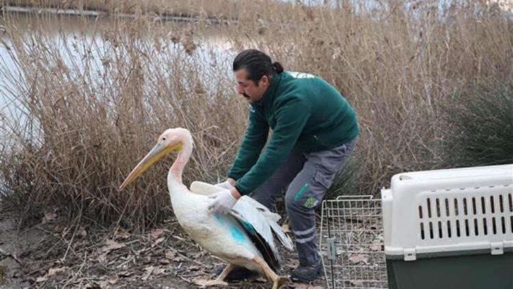 Ak pelikan, balıkla beslenerek sağlığına kavuştu