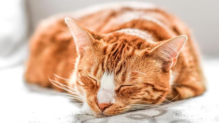 Koronavirüste 'Kedi' İddiası Doğru mu?