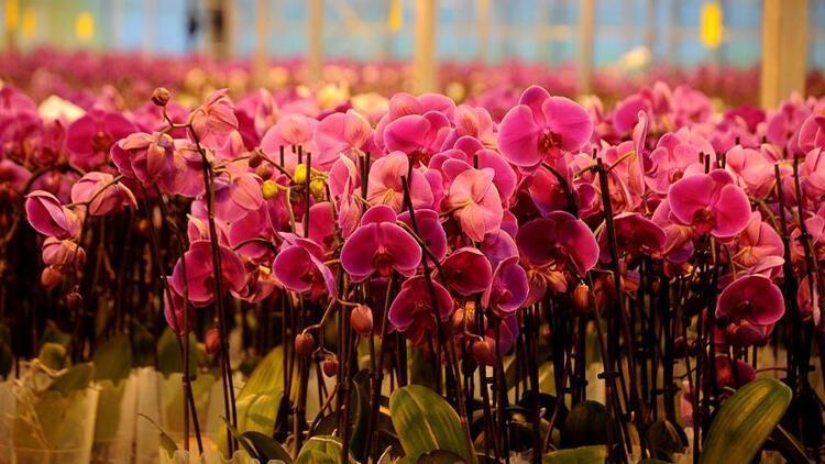 Sevgililer Günü orkidelerinin yüzde 30'u Adana'dan