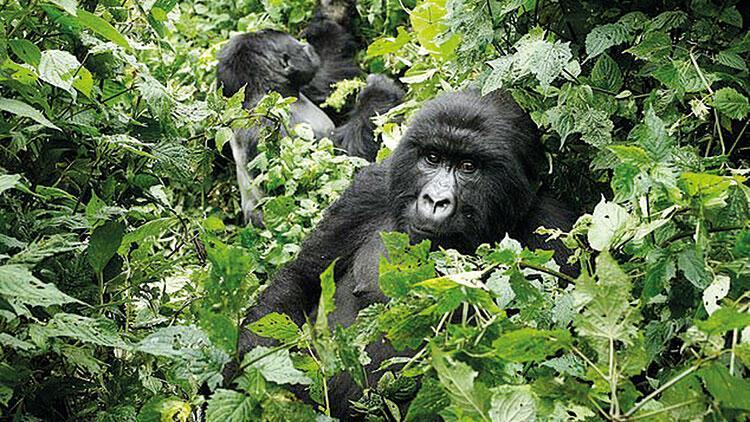 Gorillere geçer mi