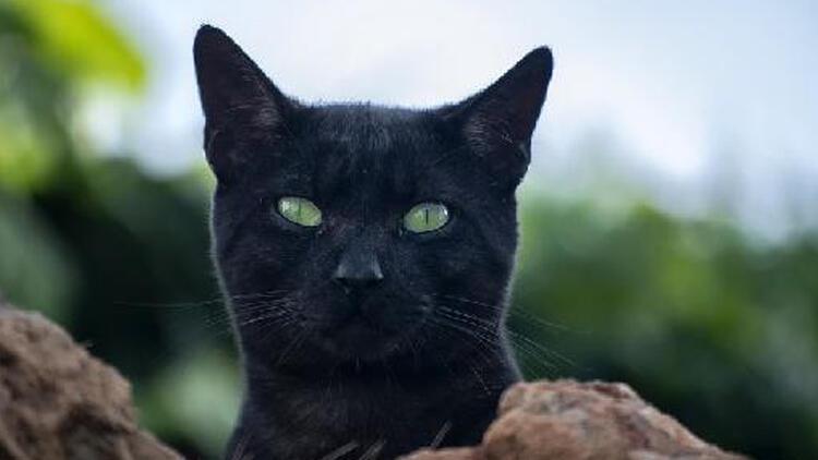 Belçika'da kediye sahibinden koronavirüs bulaştı