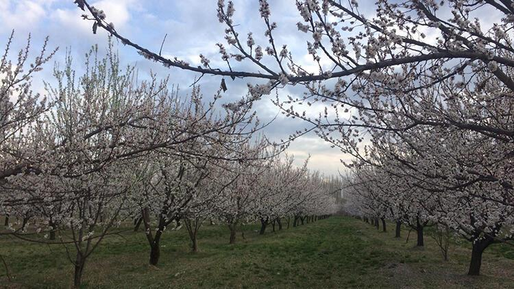 Iğdır'da, kayısı ağaçları çiçek açtı
