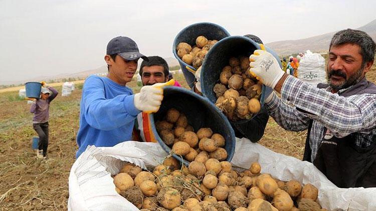 Ödemiş patatesinde hasat sürüyor