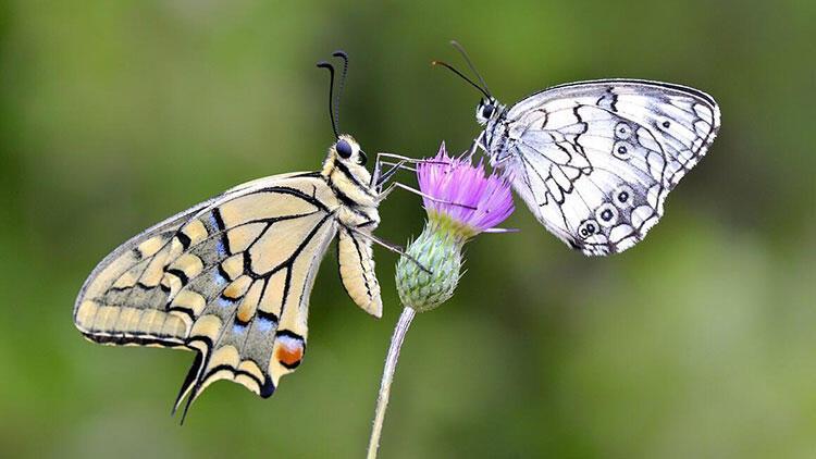 Bahar kelebeğin kanatlarında