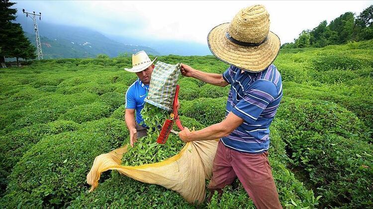 Çay hasadı için Rize'ye gelenlerin sayısı 16 bini buldu