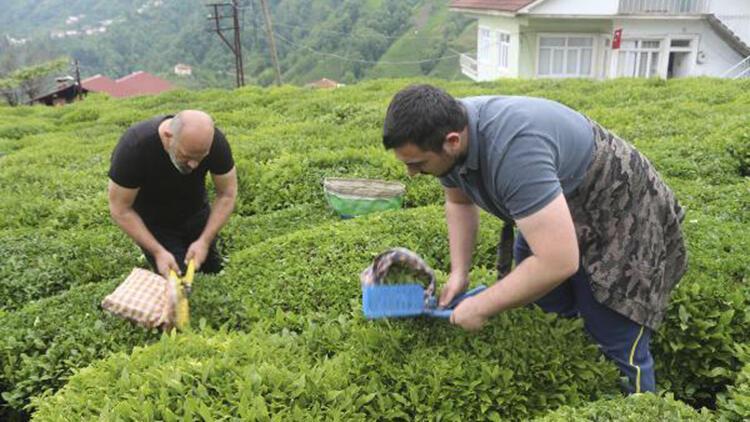 Rize'de 7 günlük karantina süresi dolanlar, çay hasadına başladı