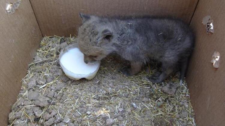 Buldukları kurt yavrusunu süt ve yoğurtla beslediler