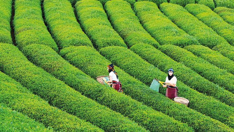 Çayın vatanı Rize'de çaya kumpas! Bu da çayın 'Susurluk'u...