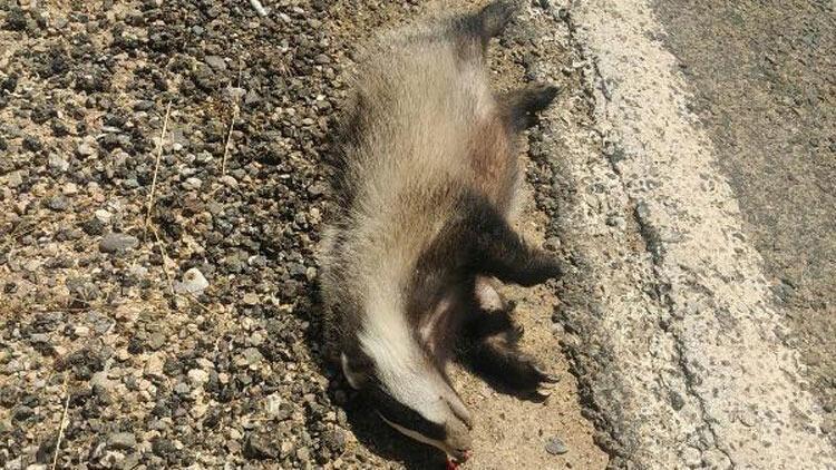 Nesli tükenmekte olan porsuk, araç çarpmasıyla öldü