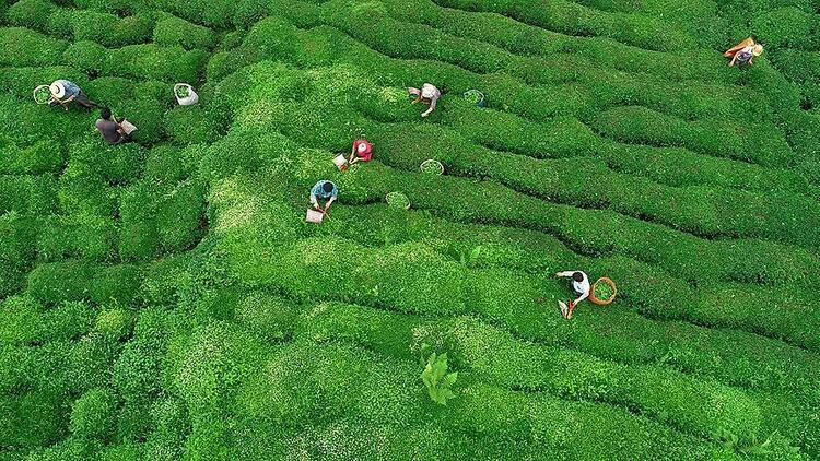 Yaş çay budama bedellerini üretici hesaplarına aktarıldı