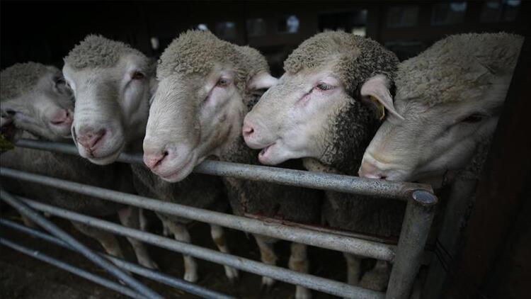 Van'dan Katar'a küçükbaş hayvan ihracatı