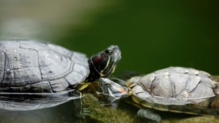 Çocukların Su Kaplumbağası Tutkusu