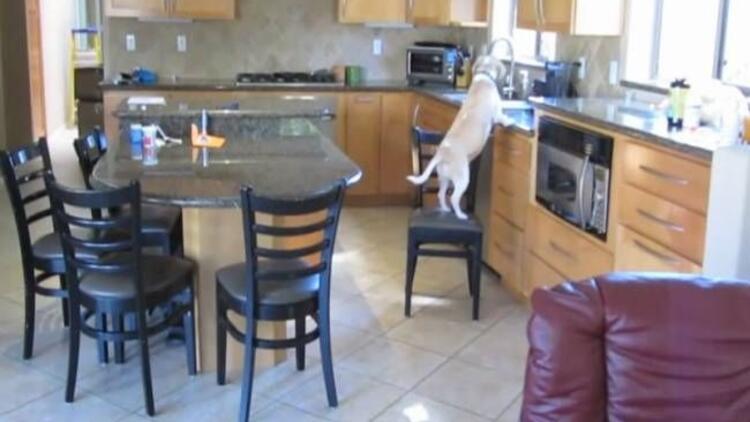Karnı acıkan köpekten şaşırtan zeka gösterisi