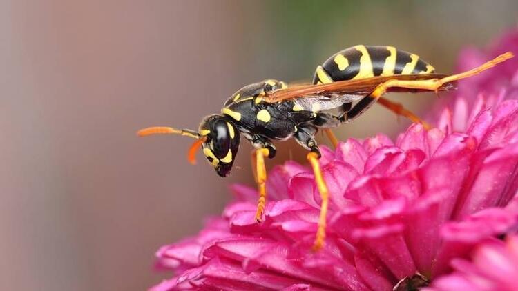 Eşek arısı zehri kansere çare mi?
