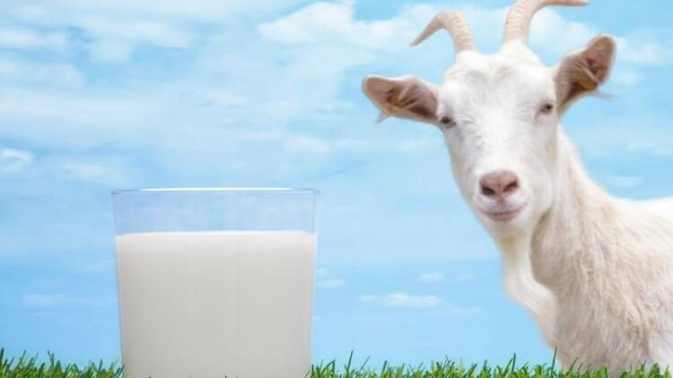 Anne sütüne en yakın gıda: Keçi sütü