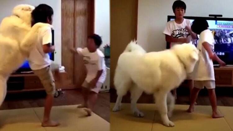 Kavga eden kardeşleri ayırmaya çalışan sevimli köpek