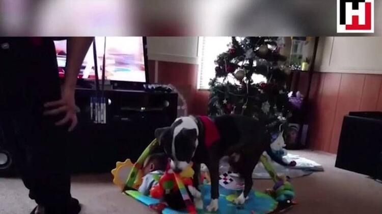 Minik bebeği koruma altına alan pitbull