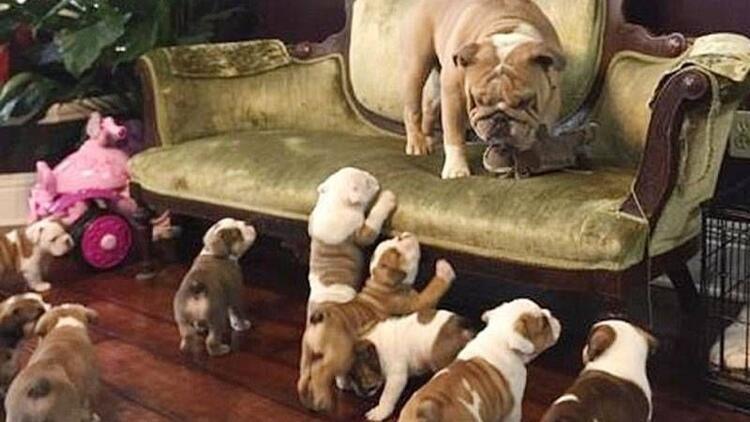 Babayı kovalayan yavru köpekler