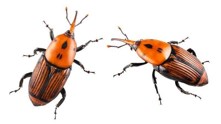Palmiye böceği tehdit ediyor