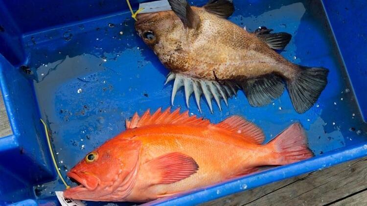 Karadeniz'deki iki balık türünde hastalık yapan parazit tespit edildi