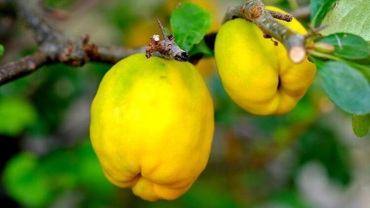 Eczane gibi meyve! Ayvanın inanılmaz faydaları