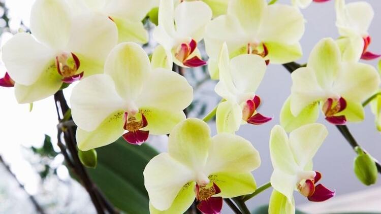 Orkide bakımı nasıl yapılır? Dikkat edilmesi gerekenler