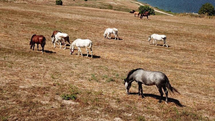 İşte Adalar'daki o atlar!