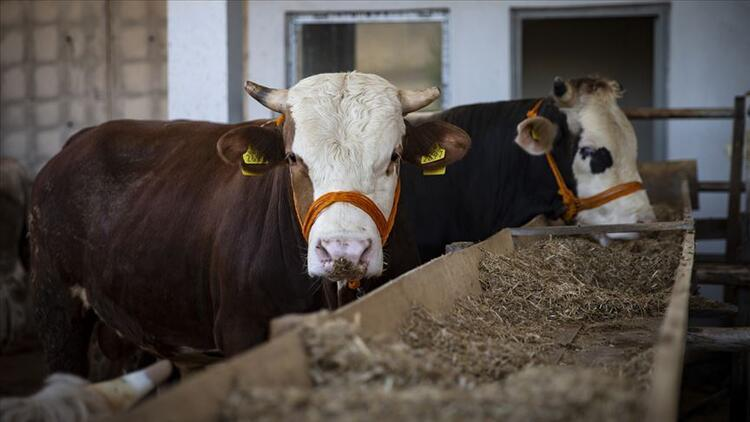 Kurban eti dağıtımı nasıl yapılır, kimlere dağıtılır Diyanet açıkladı