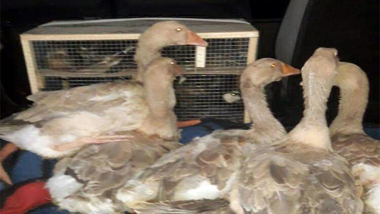 Edirnede yurda kaçak sokulan kaz, ördek ve bıldırcın ele geçirildi